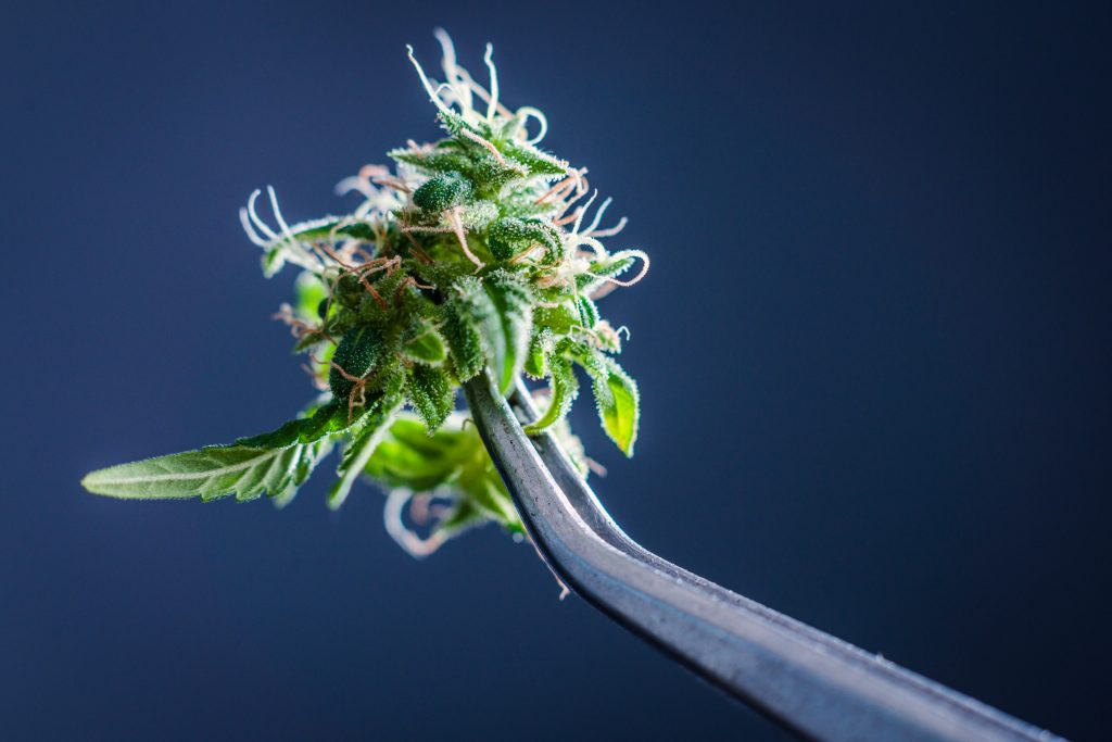 Marijuana Is Addictive: Even If We Know It Isn't Evil